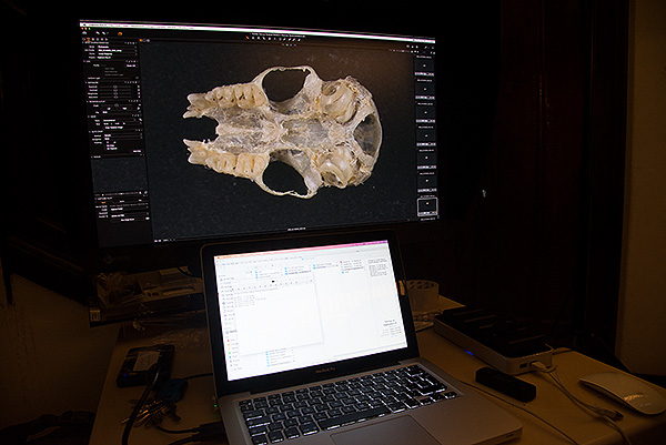 The image of a small mammal skull appears on our Eizo monitor. Numerous shots were taken of the skull at different focus points and then stacked together to produce one fully-in-focus image.