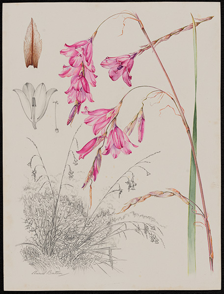 86) Dierama Pendulum Krom River 5th August 1982, near the forest station.  del Auriol Batten. Drawing completed 22nd Jan 1989 on the King Williams Town - Grahamstown Rd, where D. Pendulum forms clumps