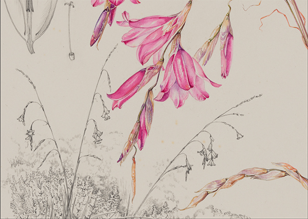 Auriol Batten: Dierama Pendulum Krom River 5th August 1982 at 33% zoom